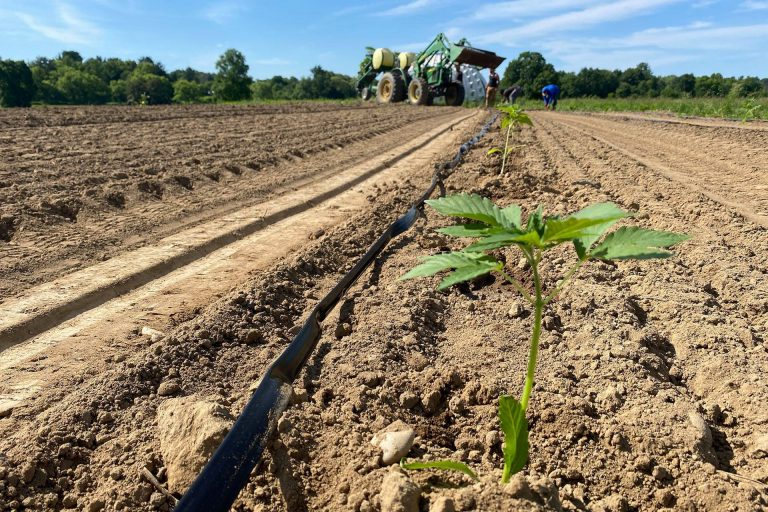 cannabis-farm