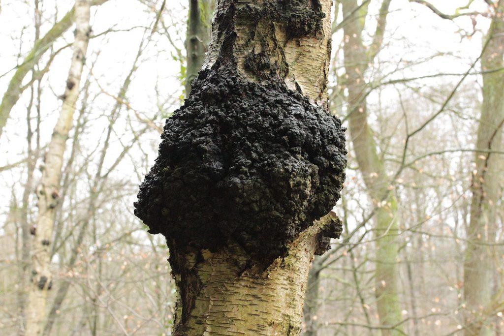 chaga-mushroom