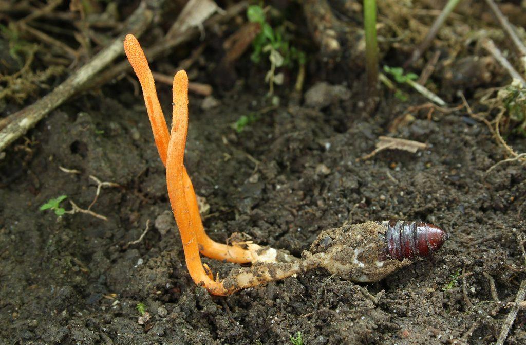 cordyceps-mushroom