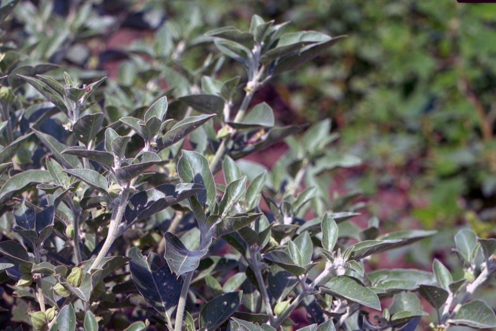 ashwagandha-plant