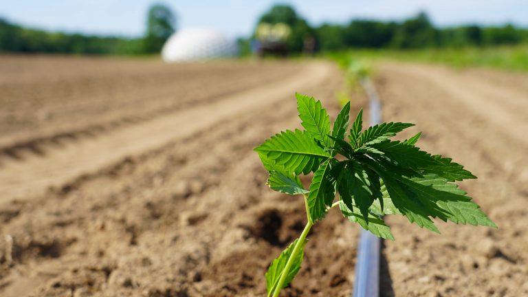 cannabis-hemp-farm
