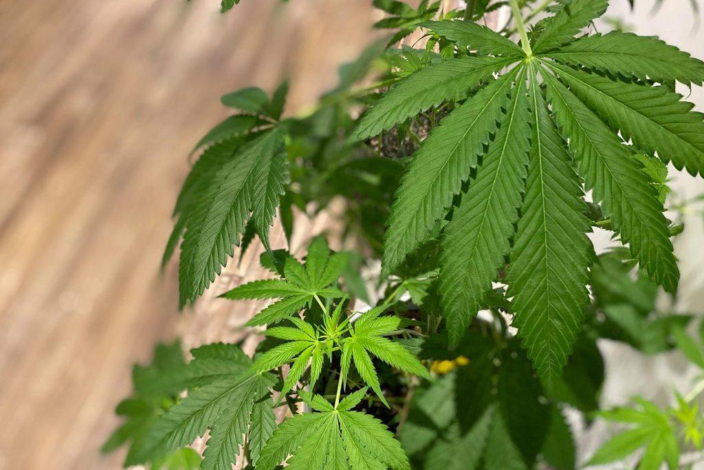 cannabis-for-sleep